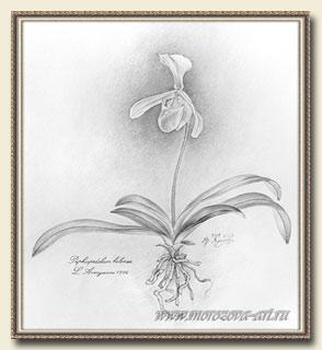 Рисунки орхидей карандашом и тушью