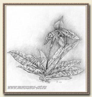 Карандашный рисунок орхидеи paphiopedilum
